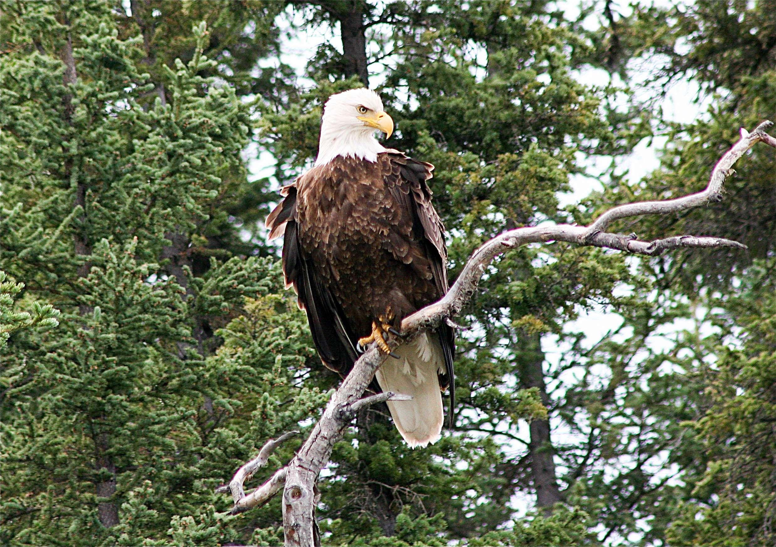 Spirit of the Yukon- Teslin River Canoe trip bolt eagle