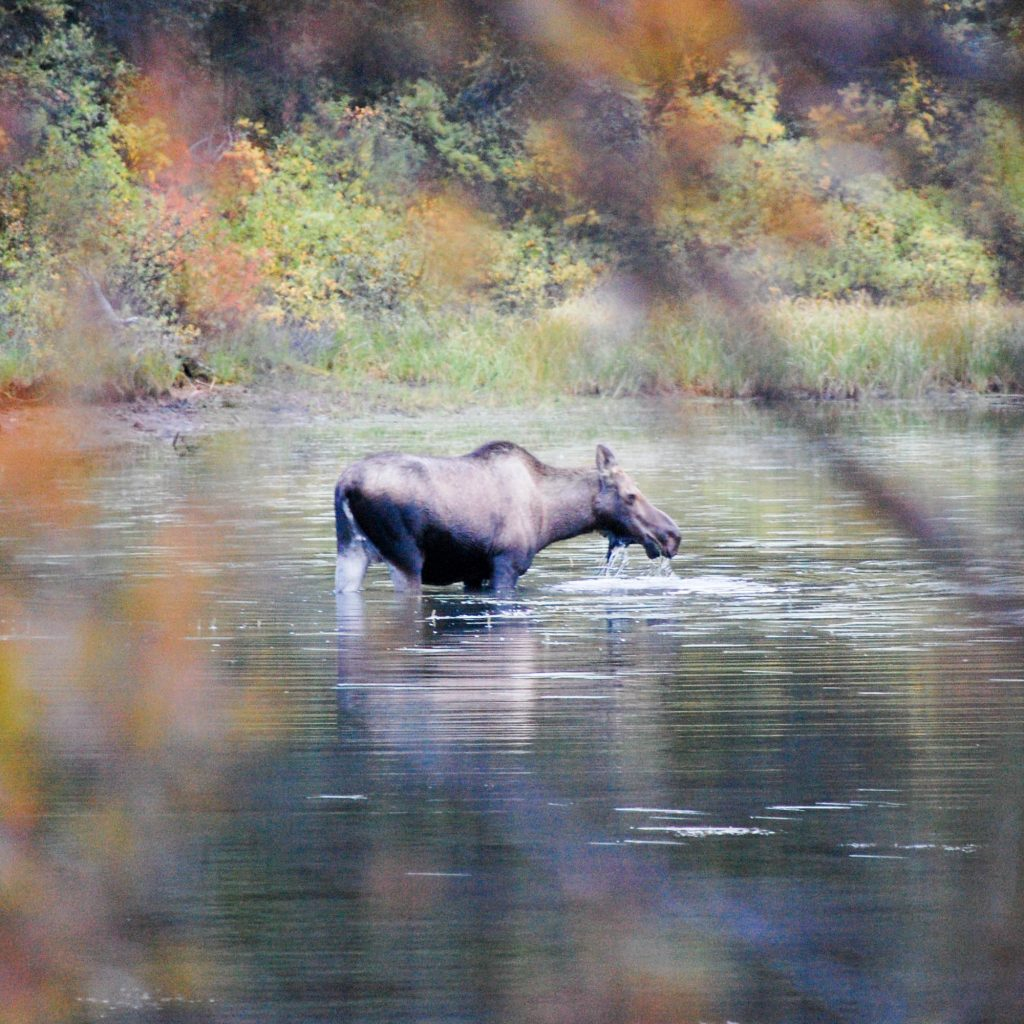 The Klondiker - Big Salmon River - moose