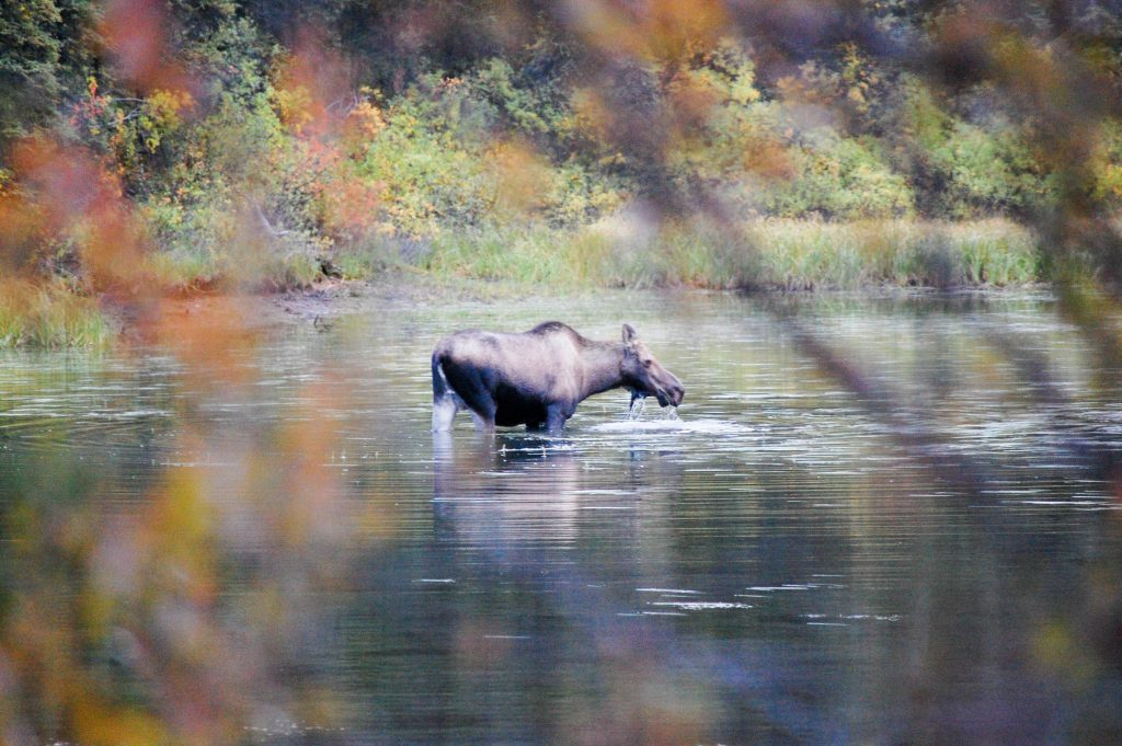 Der Klondiker - Big Salmon River - moose