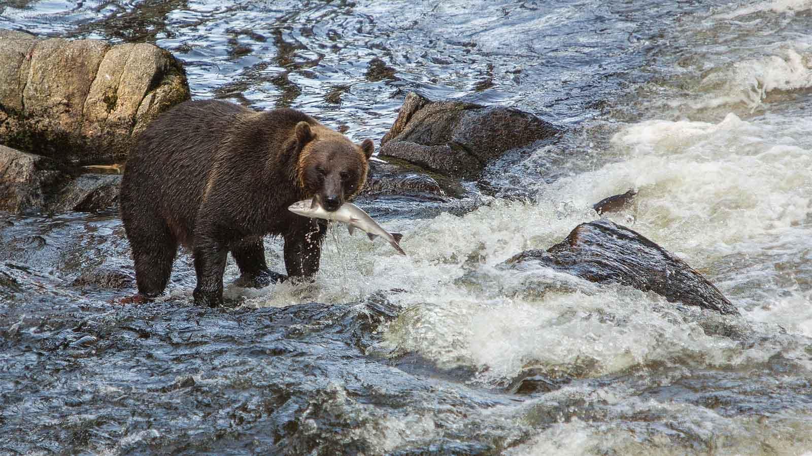 Auf den Spuren des Yukons - Tessin River - Bär