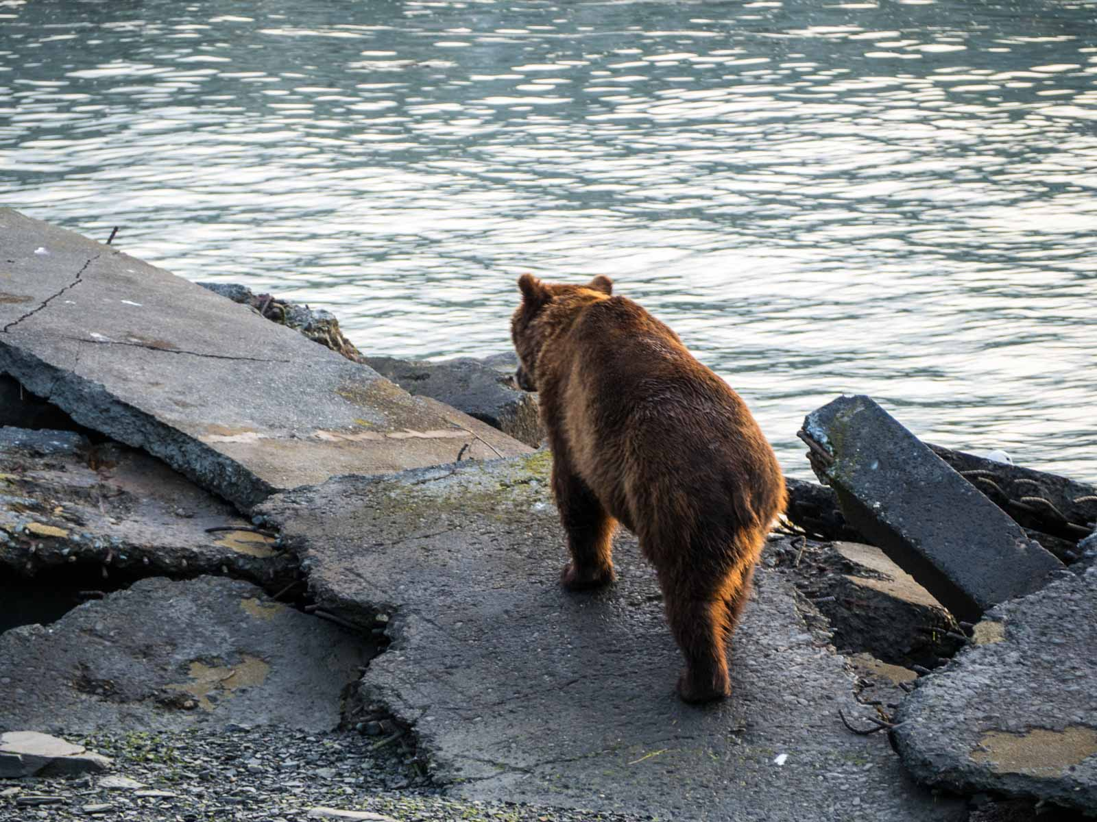 Alaska - The Great Land - Grizzly Bear in Valdez
