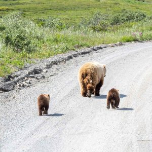 Best Of Yukon & Alaska - Grizzly Bear Family in Denali National Park and Preserve