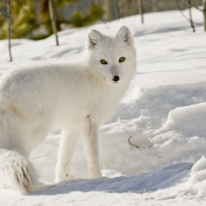 Arctic Fox Ice Road Arctic Ocean