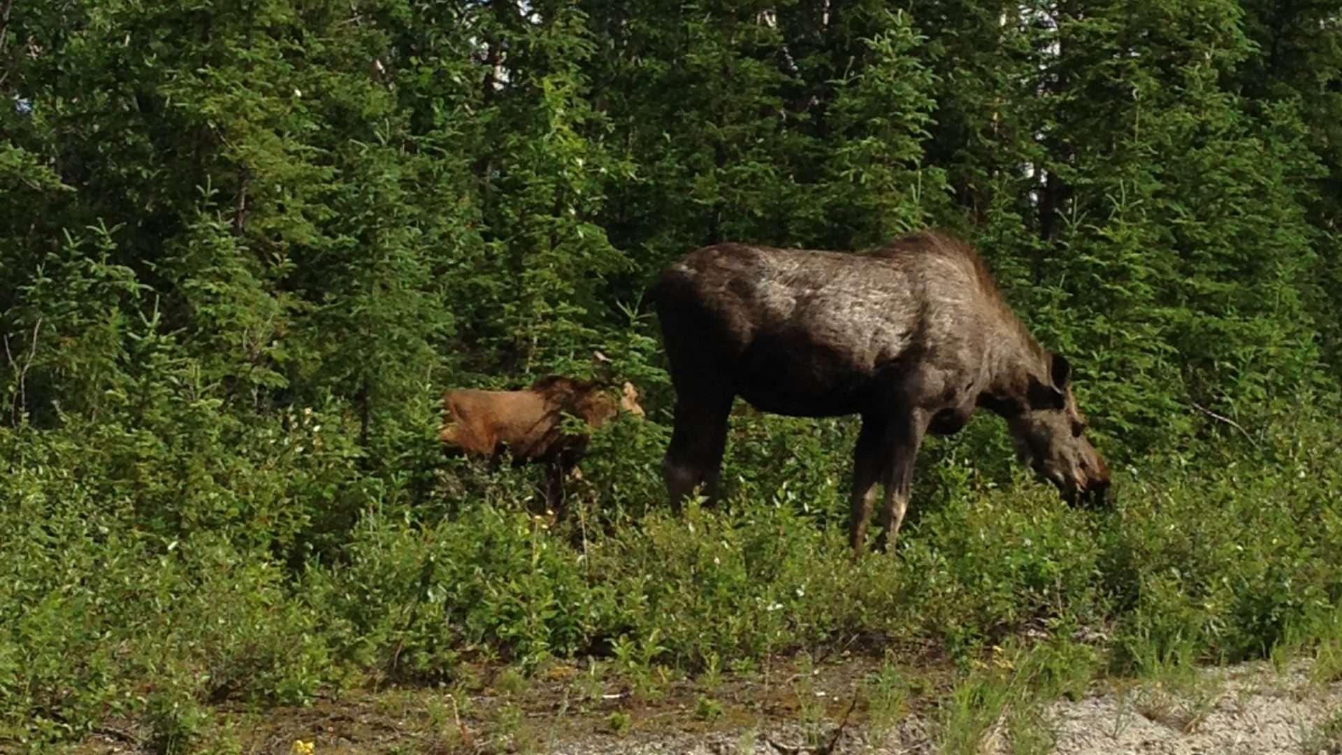 Moose in Kluane Park