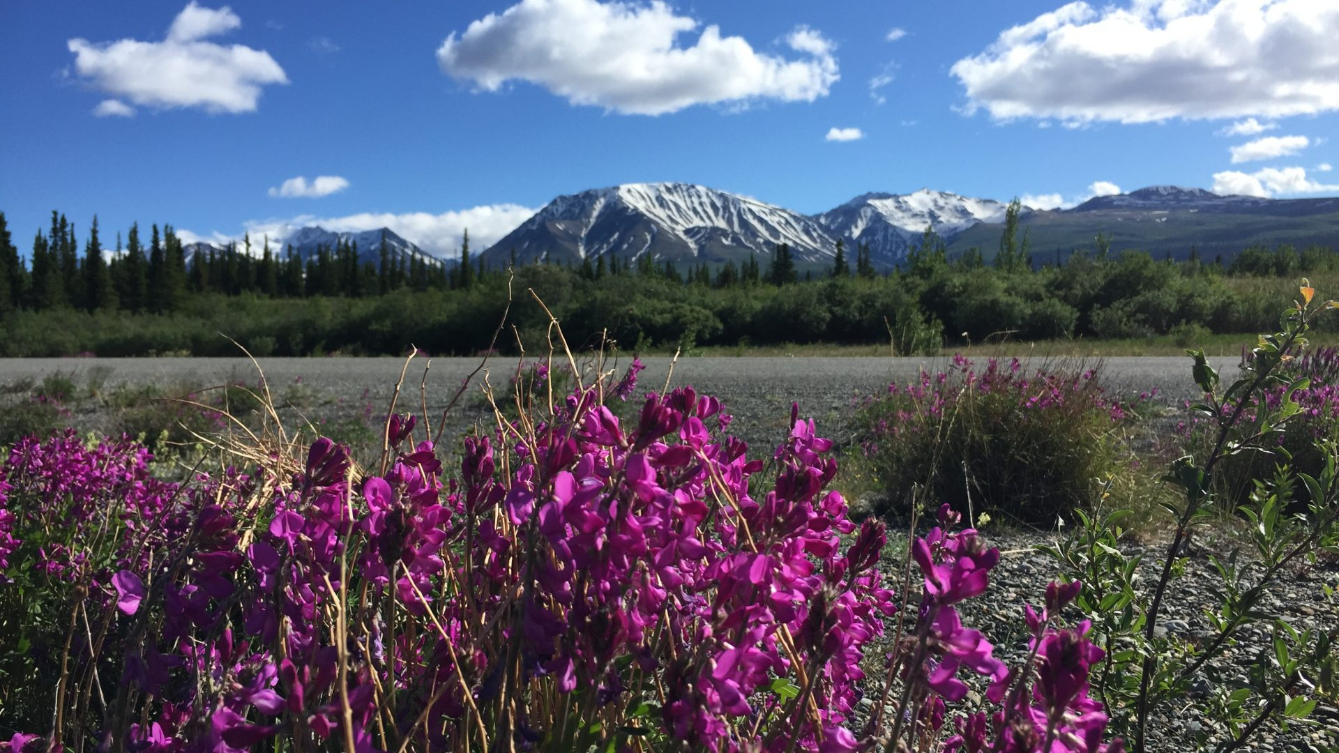 Kluane mountains and fireweed
